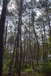 阳光下的松树林