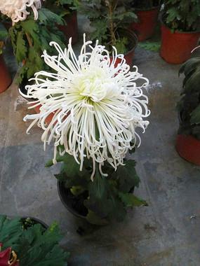 一盆盛开的白色菊花