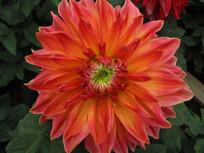 橙色的一朵菊花