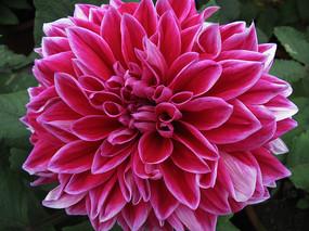 粉紫色菊花