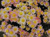 密集的浅橘色菊花