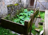 农家小院的荷花池