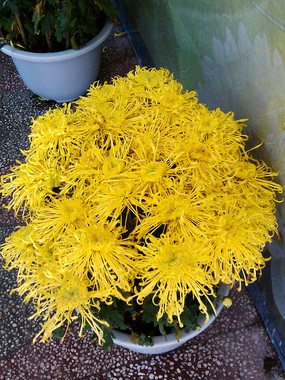 盛开的黄色盆栽菊花