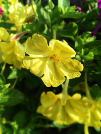 黄色草茉莉