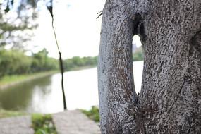 湖边一棵枝干有洞的树