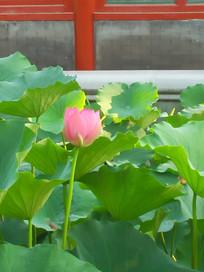 荷塘中一朵含苞待放的花骨朵