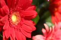 红色花瓣微距