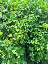绿色的爬墙植物
