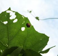 丝瓜叶子上面的瓢虫