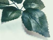 植物绿色叶子