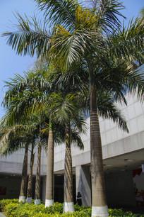 高大热带树