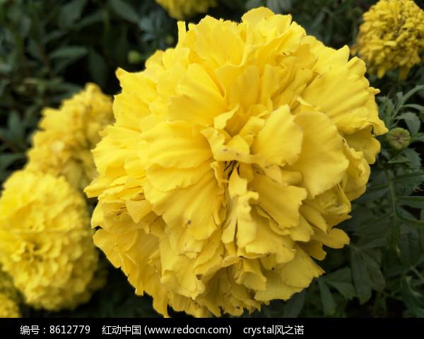 黄菊花 图片