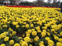黄色万寿菊