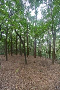 惠州飞鹅岭上的树木