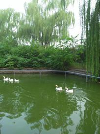 园林湖中的大鹅