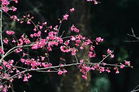 中国红樱花