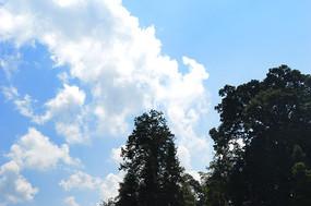 蓝天白云下的参天大树