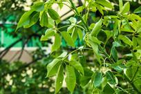 木棉树的叶子
