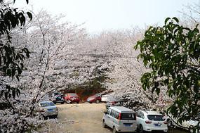 樱花林里停放的车辆