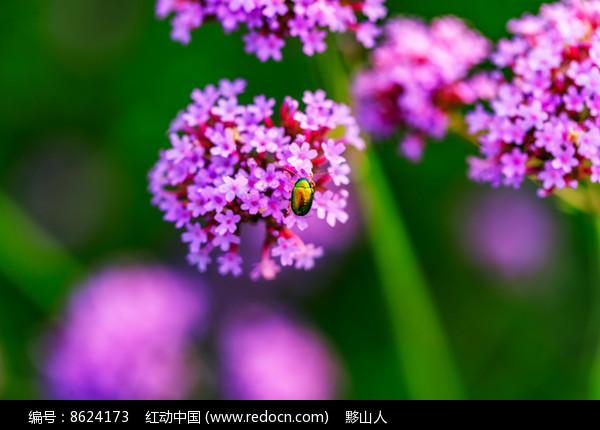一只甲壳虫停在马鞭草上图片