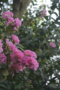 盛开紫薇花
