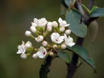 烟管荚蒾的白色花朵