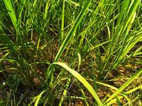 稻米稻谷禾苗