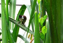 甘蔗叶子上的小鸟