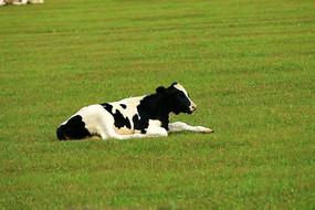 奶牛三河牛