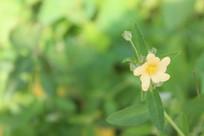 淡淡小黄花