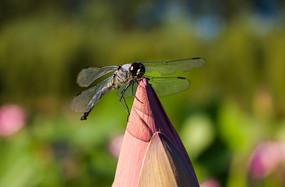 荷花花蕾上的蜻蜓