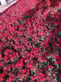 很多凤仙花