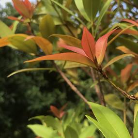 红色叶子红叶