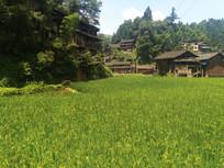 绿油油的水稻