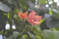 三角梅花朵