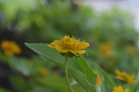 一朵百日菊