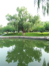 湖边的大柳树