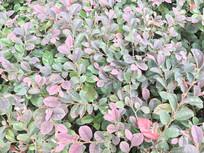 绿色紫色叶子背景