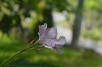 一朵夹竹桃