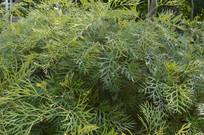 银桦属植物