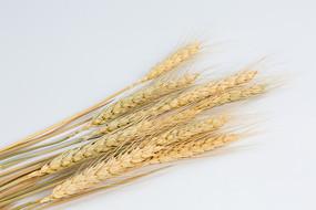 白色背景的麦穗