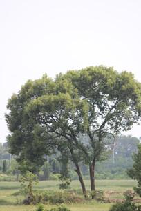 并肩生长的大树