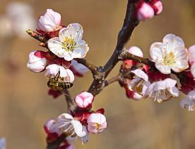 春意盎然的杏花