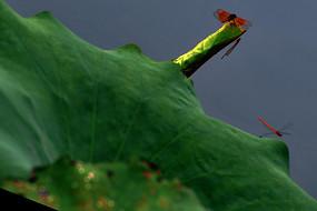 红蜻蜓立枝头