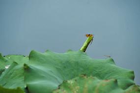 红蜻蜓与荷叶
