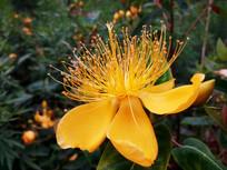 黄色金丝桃