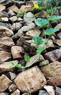 石块墙壁上的南瓜秧