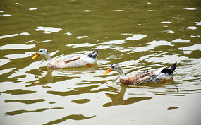 水中游泳的鸭子