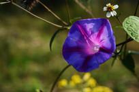 阳光下的喇叭花和白色小花
