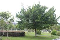 一棵大树和众棵小树